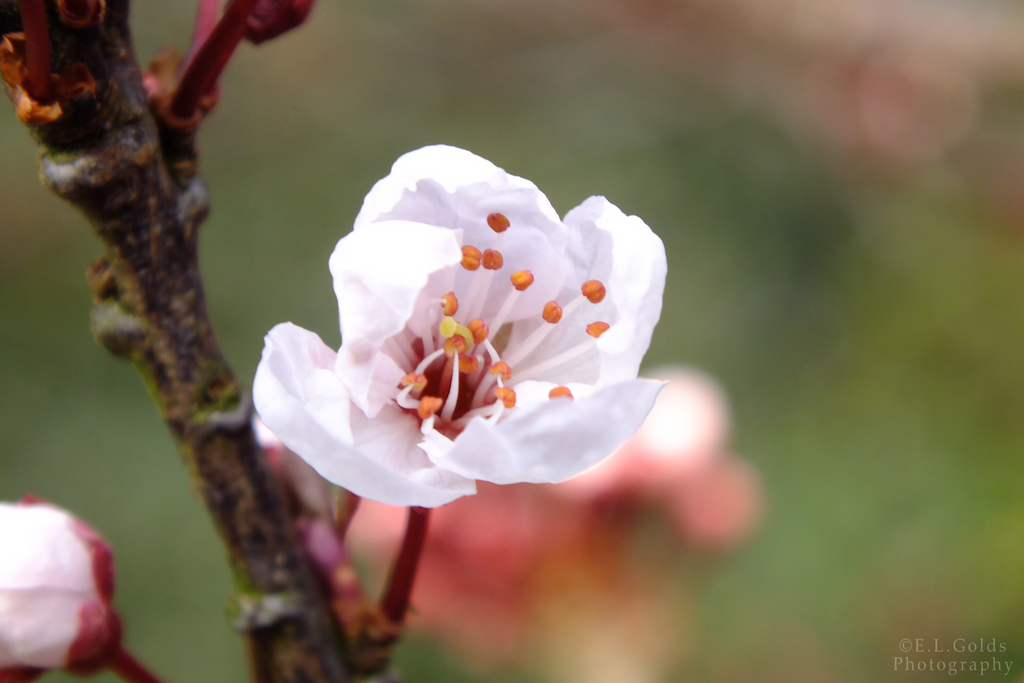 Cherry Blossom by 123boocatdog