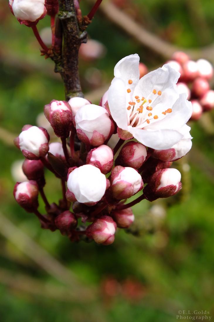 Blossom Buds by 123boocatdog