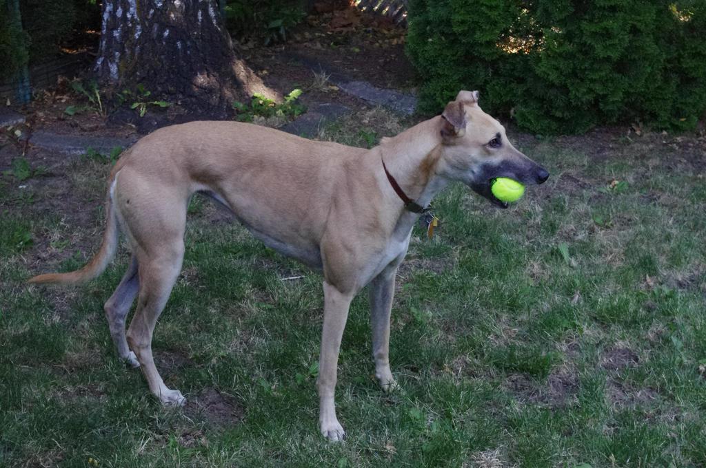 Greyhound Stock 2 by xSweet-blasphemyx