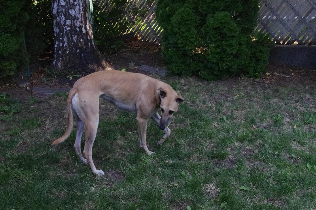 Greyhound Stock 1 by xSweet-blasphemyx