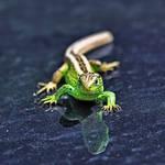 Lizard by MK-NI