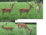 Spotted Fallow Deer stock 1