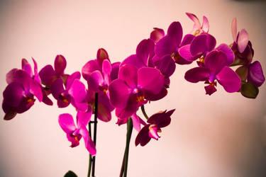Phalaenopsis XXI