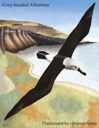 Losing Altitude - Grey-headed Albatross by Teela-B