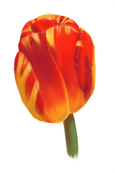 Mother's Day Tulip