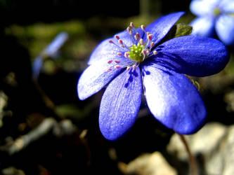 Blue Flower by messtwice