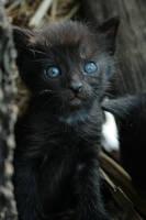 Black Kitty by pitrih-stock