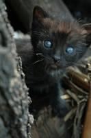 black Kitty 2 by pitrih-stock