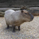 Capybara by ImperataLexinor