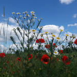 Poppy and sky by ImperataLexinor