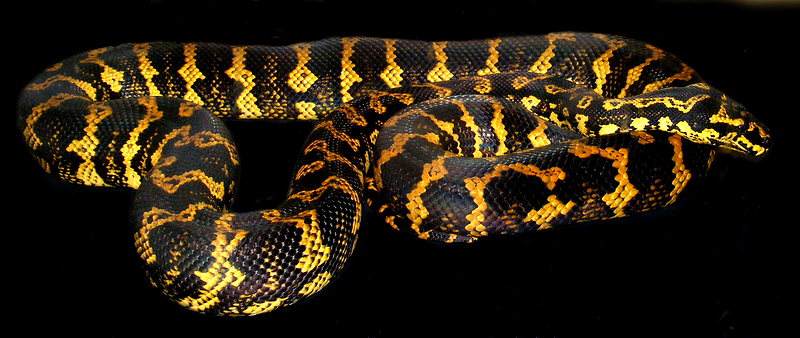Adult Jungle carpet python | Snakes | Pinterest | Python and Reptiles