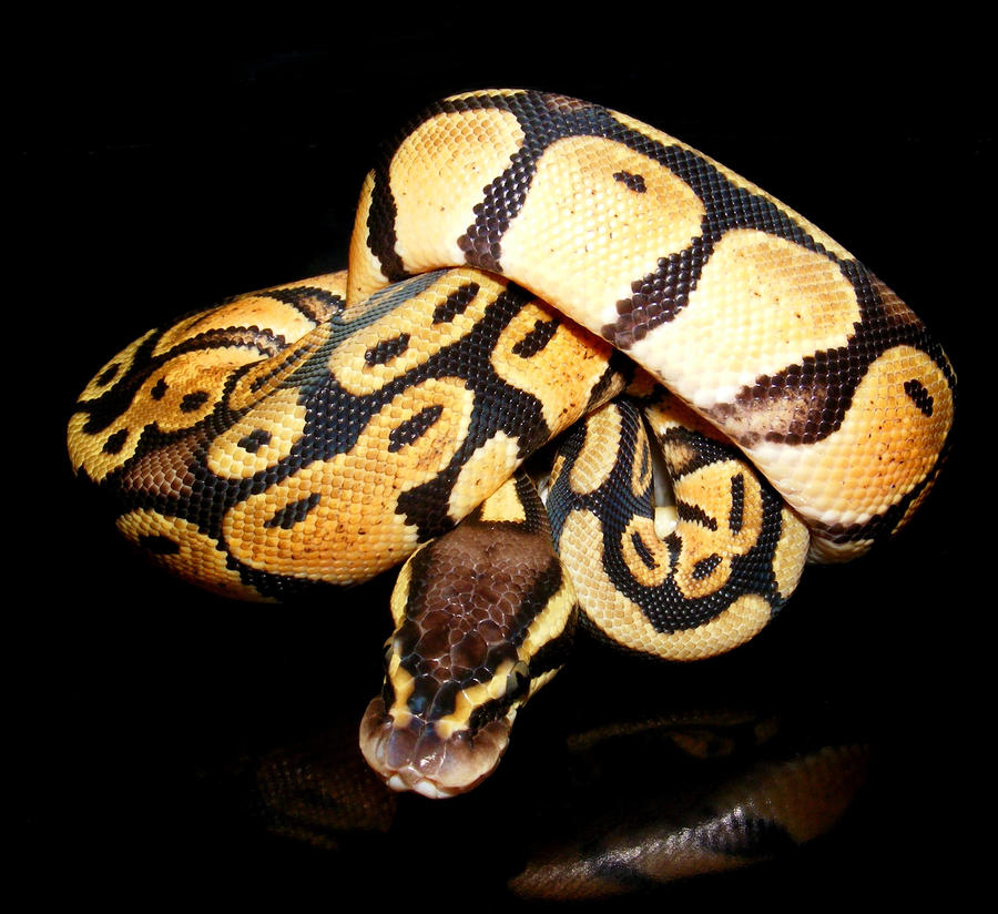 Pastel Ball Python Pastel ball python 1 by