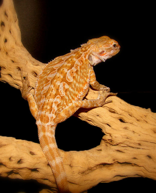 Our Bearded Dragon Sunny by Toxic-Muffins-Studio