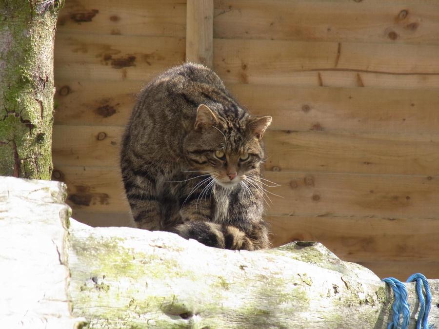 Scottish Wildcat - Do You Mind? by LottyTheCat