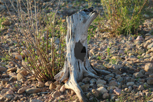 Rooted Driftwood