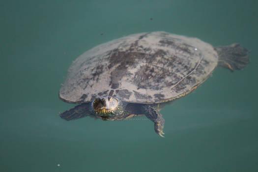 Yertle Turtle