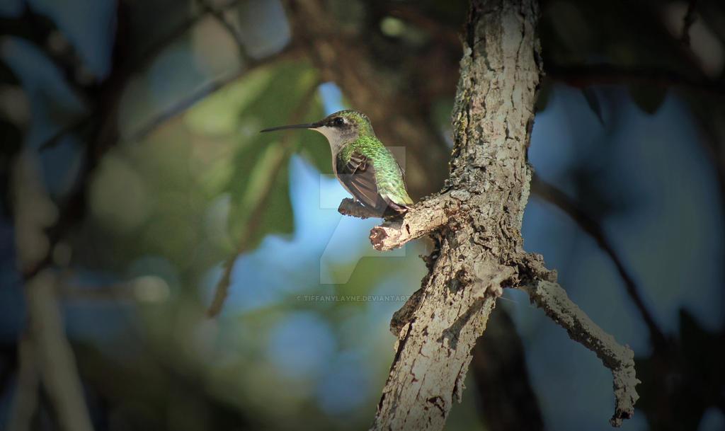 Hummingbird-1 by tiffanylayne