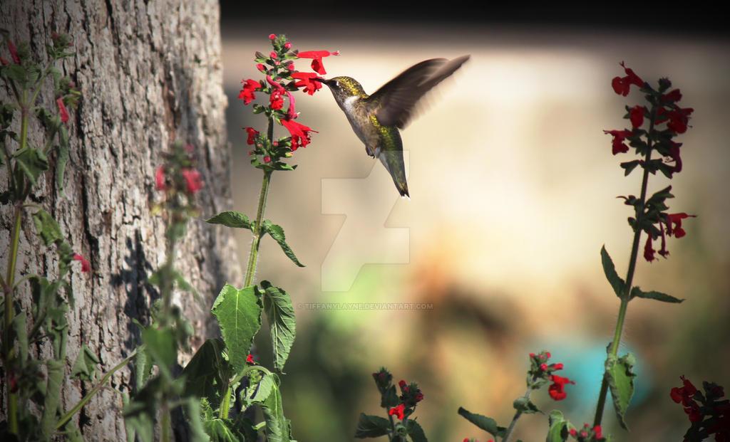 Hummingbird-4 by tiffanylayne