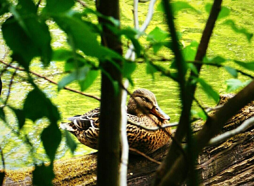 Duck by crudert