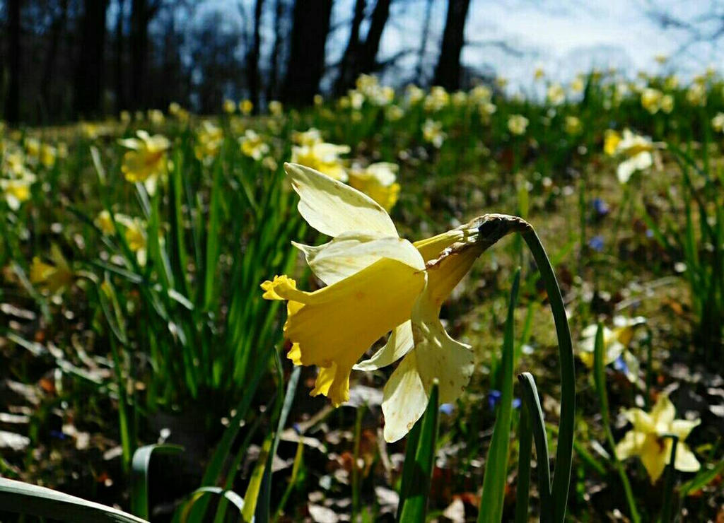 Daffodils by crudert
