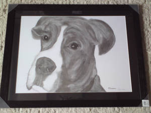'Chester' The Boxer Dog