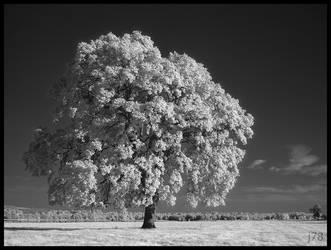 A Single Oak by junkster78