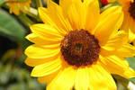 Helianthus Bee