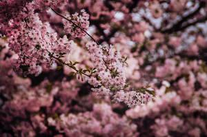 Sakura by vesaspring