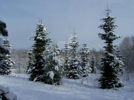 Overgrown Christmas trees