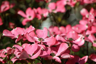 Chines Dogwood Full bloom