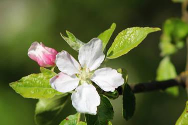 Apple blossom and bud