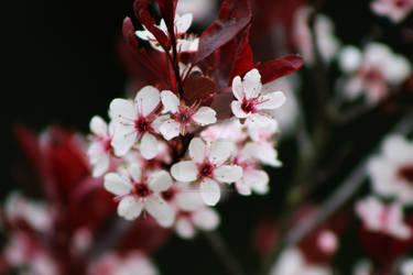 Sand Cherry Blossoms