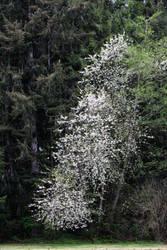 Cherry blossom cascade.
