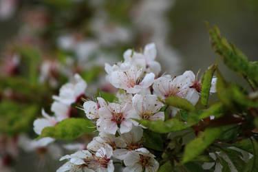 Cherry blossom cluster.