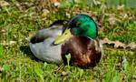 Wild Duck