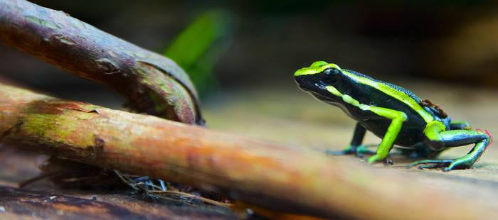 Poison dart frog Ameerga trivittata