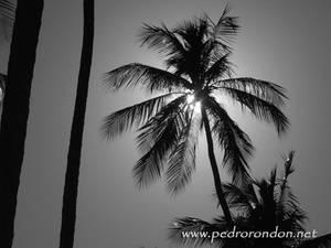 cocoteros en Playa Colorada 2
