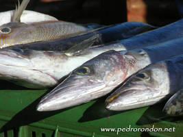 picuas - barracudas by pedrorondon