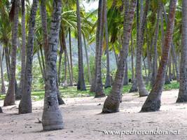 cocoteros - coconut trees by pedrorondon