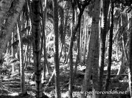 cocoteros - coconut trees 2 by pedrorondon