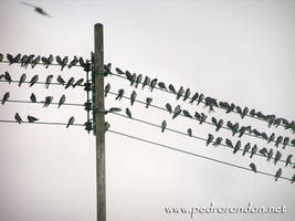 golondrinas - swallows by pedrorondon