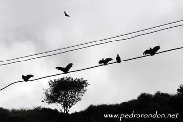 zamuros en El Jarillo 2 by pedrorondon