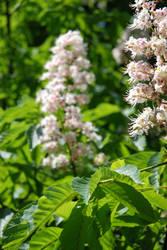 Chestnut blossom 02