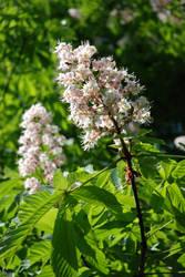 Chestnut blossom 03