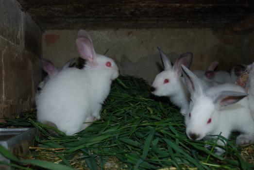 Rabbits 01