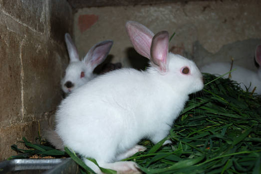 Rabbits 02
