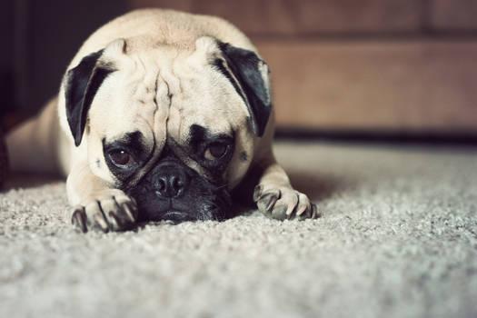 Tired Pug