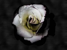 O Sick Rose by cjqueen76