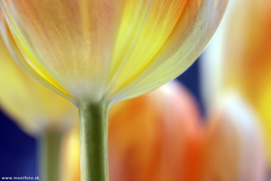 Tulips III by shalgona