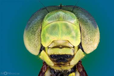 Dragonfly I by shalgona